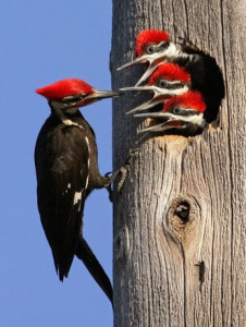 1aBird-Pileated woodpeckers are the largest of the common woodpeckers found in most of North America.